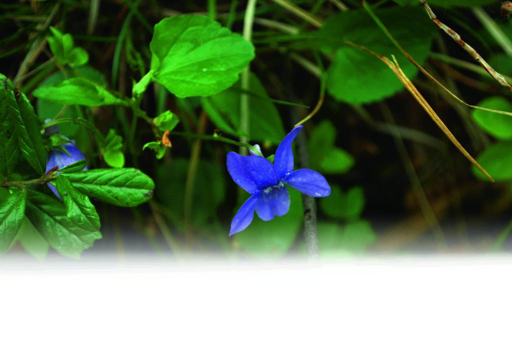 Morsdag_blomma