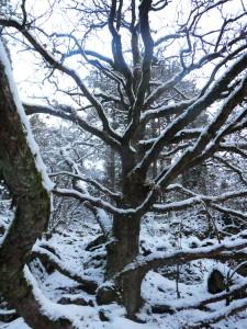 The Wholly Oak Tree i vinterskrud