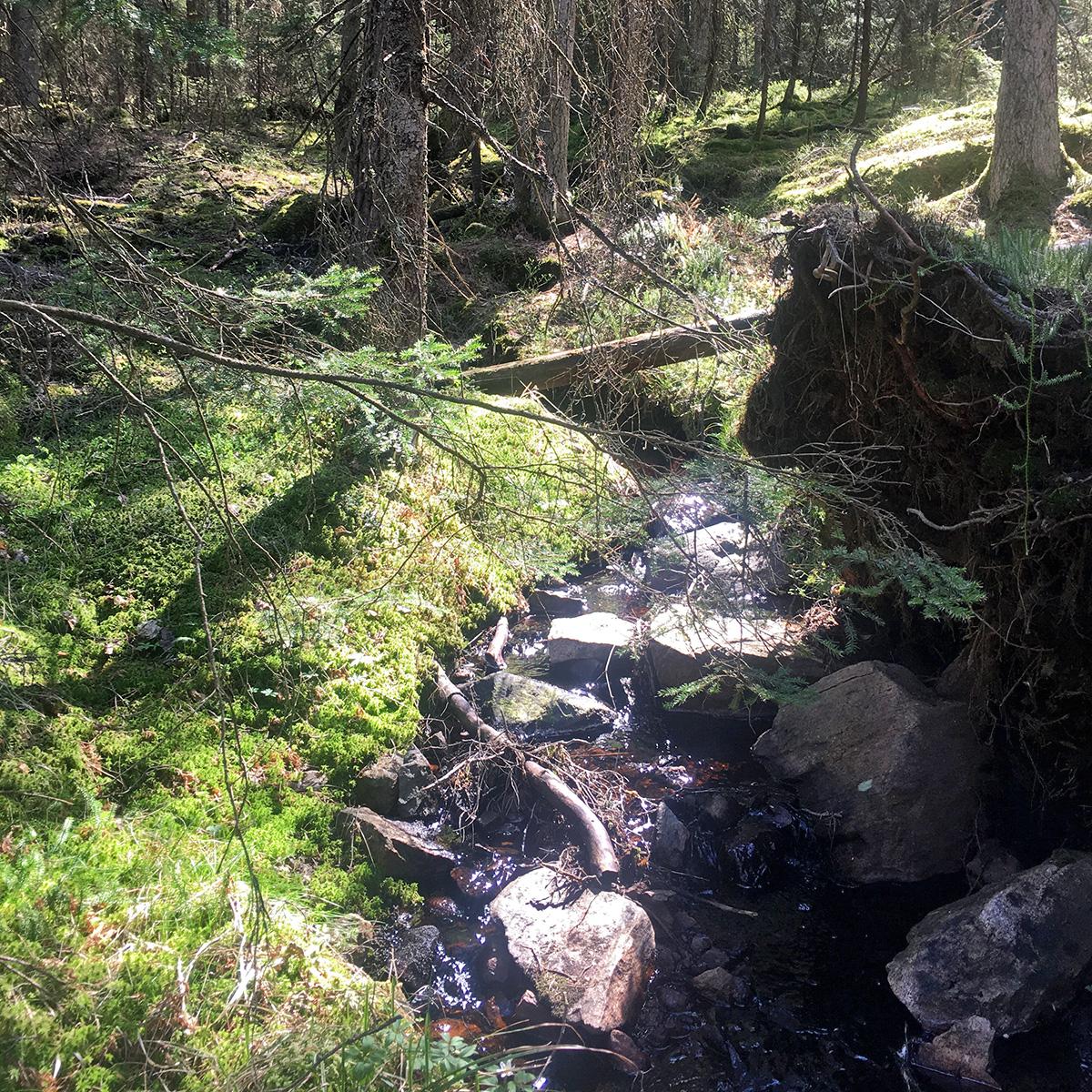 Ostörd skog med död ved ger friska levande vatten