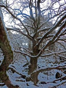 the_wholly_oak_tree_winter