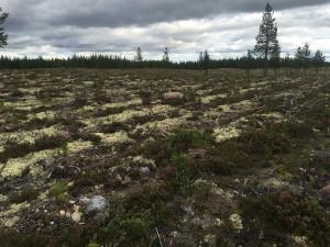 Stora sår skärs in i den svårföryngrade skogen
