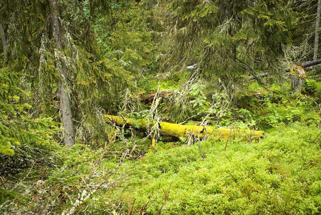 Skog med låga